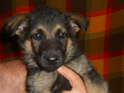 AKC german shepherd puppies